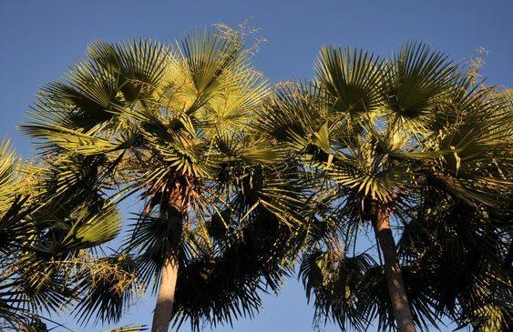 Carnaúba é eleita árvore símbolo do Piauí