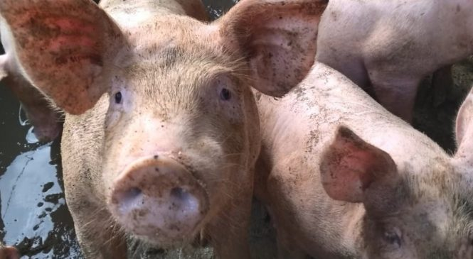 Sobe para 15 o número de focos da peste suína confirmados no Piauí